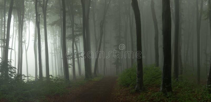 Panorama del legno di sguardo spettrale di fiaba nebbiosa della foresta dentro di mattina immagine stock libera da diritti
