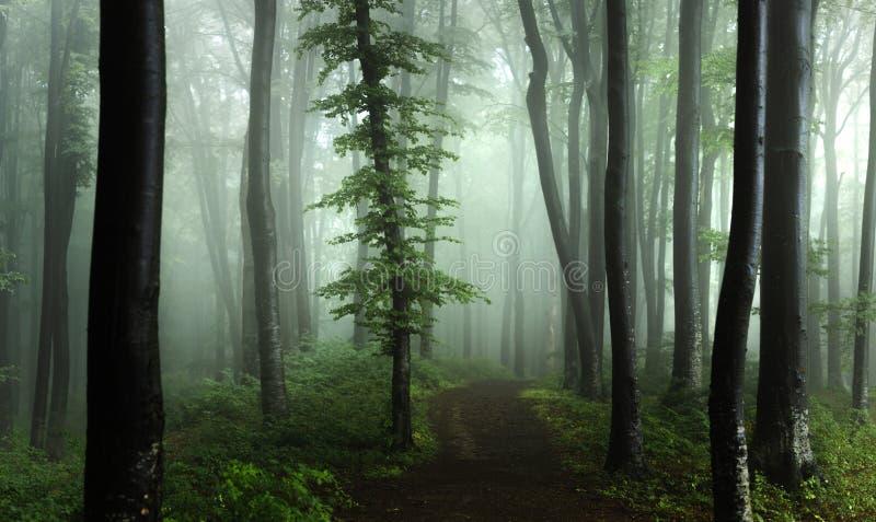 Panorama del legno di sguardo spettrale di fiaba nebbiosa della foresta dentro di mattina fotografie stock