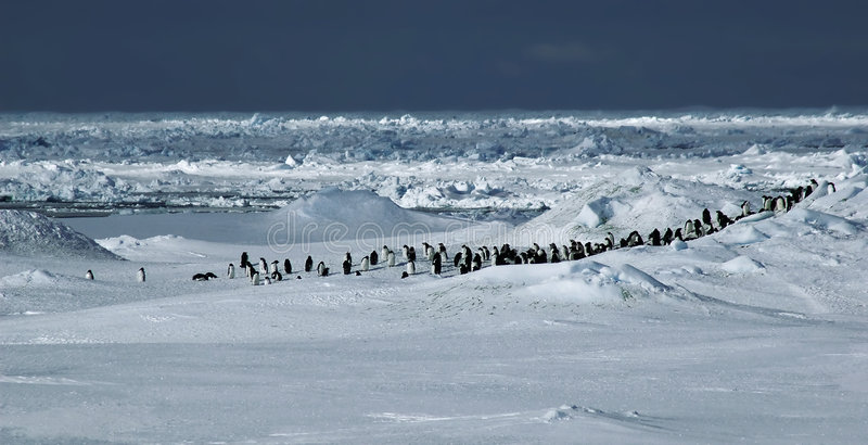 Panorama del pinguino immagine stock libera da diritti