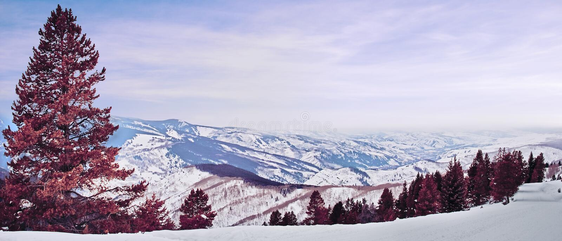 Panorama del pino rosso fotografie stock libere da diritti