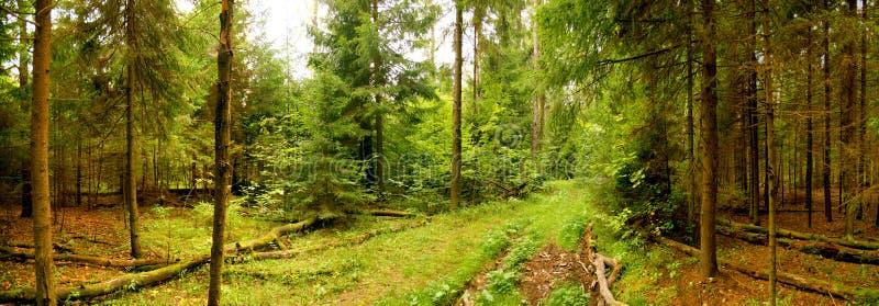 Panorama della foresta immagine stock libera da diritti