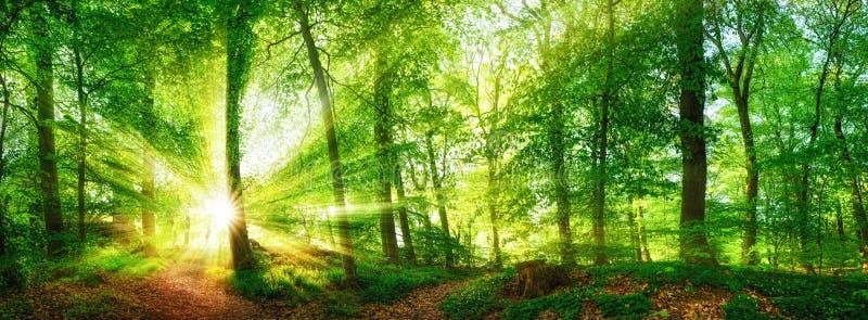 Panorama della foresta con il sole che splende attraverso il fogliame fotografia stock