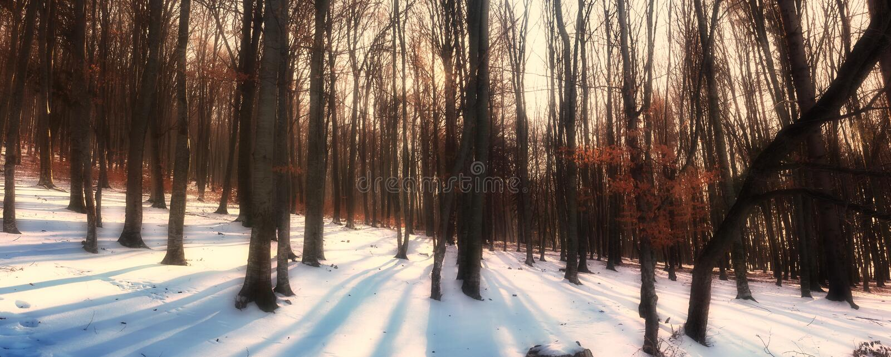 Panorama della foresta dell'albero di faggio fotografie stock libere da diritti