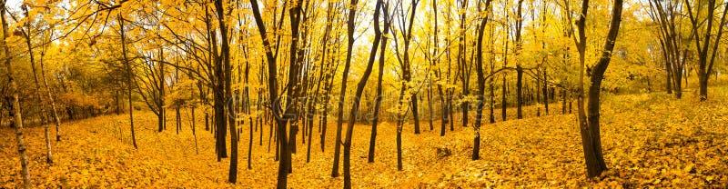 Panorama della foresta di autunno fotografia stock libera da diritti