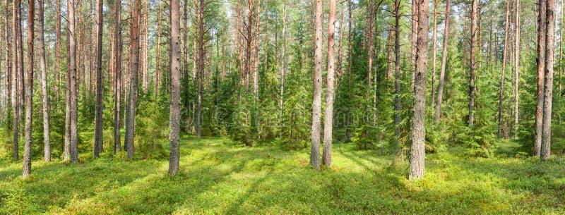 Panorama della foresta di estate immagini stock