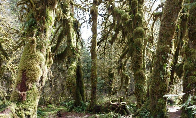 Panorama della foresta pluviale temperata fotografia stock