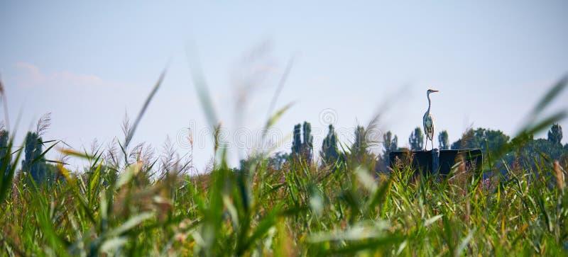 Panorama delle canne vicino ad un lago con un airone alla destra sull'allerta per la preda immagini stock