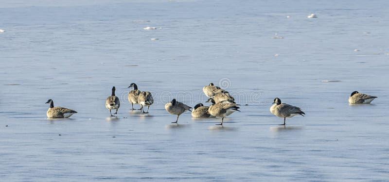 Panorama delle oche sul lago congelato fotografia stock libera da diritti