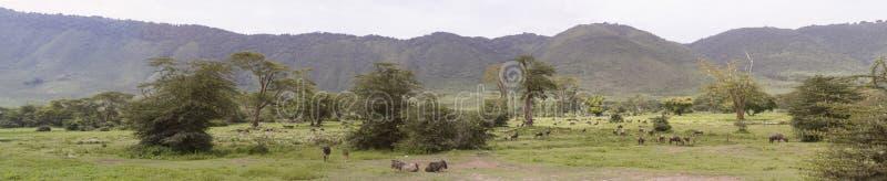 Panorama dello gnu in prato, cratere di Ngorongoro, Tanzania fotografia stock