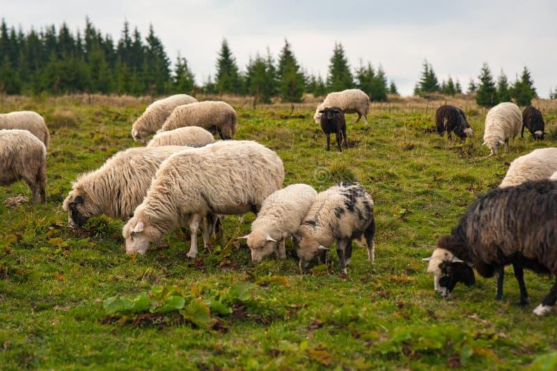 Panorama der Landschaft mit Herde von Schafen lassen auf grüner Weide in den Bergen weiden stockbilder