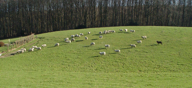 Panorama der schwarzen Schafe stockfotografie