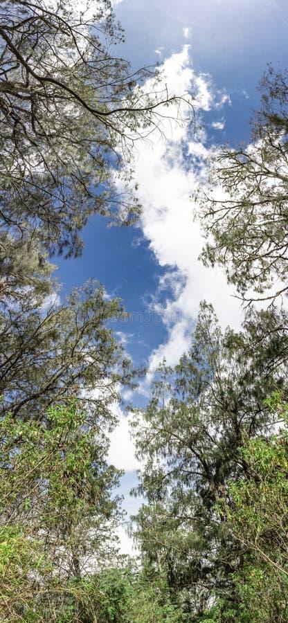 Panorama des blauen Himmels mit Wolken und Ansicht von unten der Bäume von Vertikaler Panoramablick von Baumasten gegen den Himme stockbild