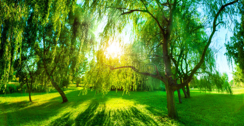 Panorama des grünen Sommerparks Sun, der durch Bäume, Blätter scheint stockbilder