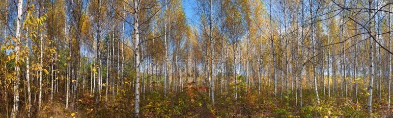 Panorama des Herbstbirkenwaldes lizenzfreie stockbilder