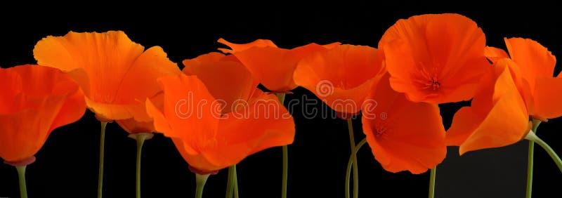 Panorama des pavots oranges photos libres de droits
