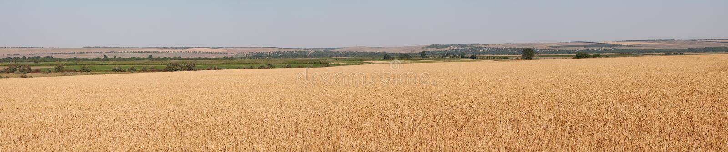 Panorama des Weizenfeldes lizenzfreies stockfoto