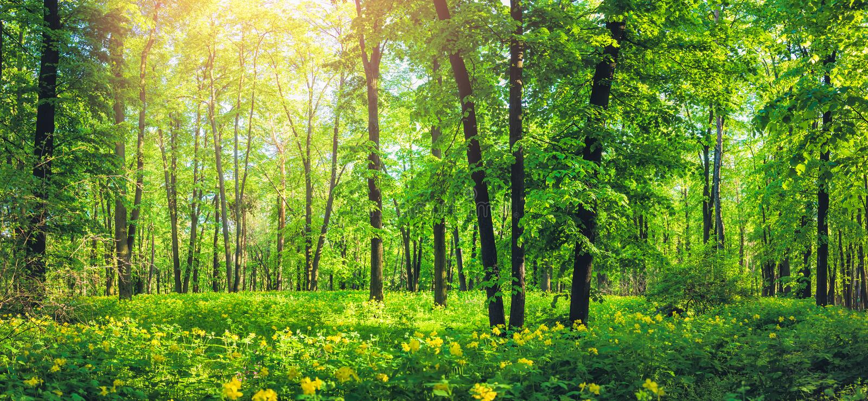 Panorama di bella foresta verde di estate Paesaggio della natura con i fiori selvaggi gialli fotografia stock