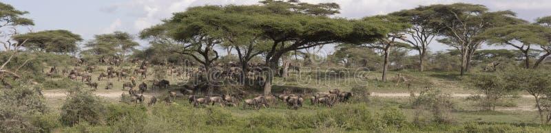 Panorama di grande migrazione dello gnu, Serengeti fotografia stock libera da diritti