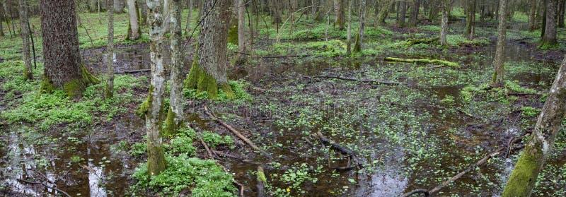 Panorama di primavera della foresta mista bagnata con acqua fotografia stock