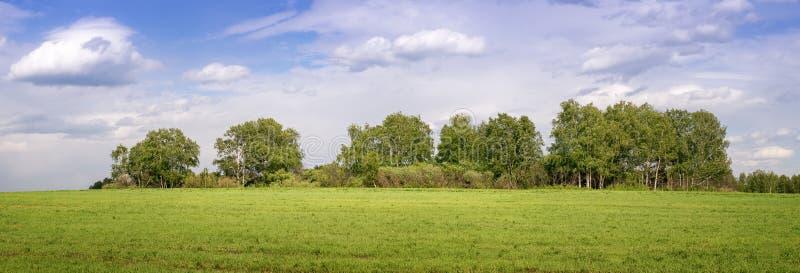 Panorama di un boschetto della betulla nel campo, Russia fotografie stock libere da diritti