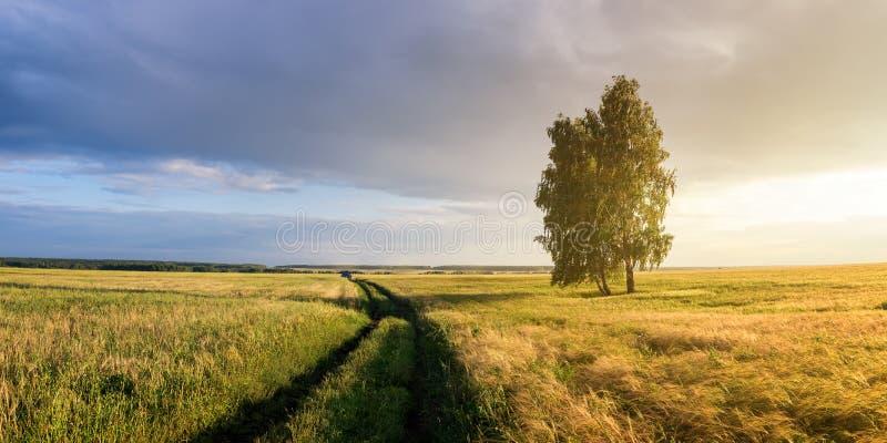 Panorama di un campo rurale con grano, una betulla sola e una strada non asfaltata al tramonto, Russia immagini stock