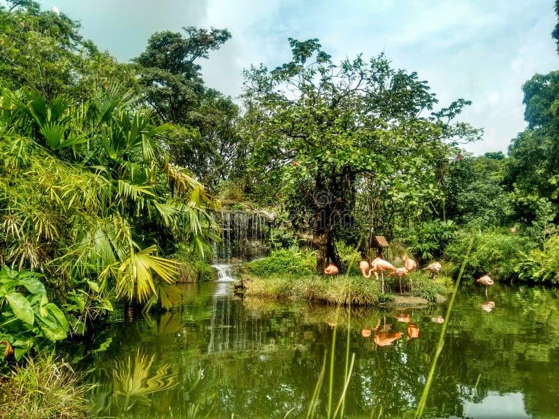 Panorama di un gruppo di fenicotteri nella giungla fotografia stock libera da diritti