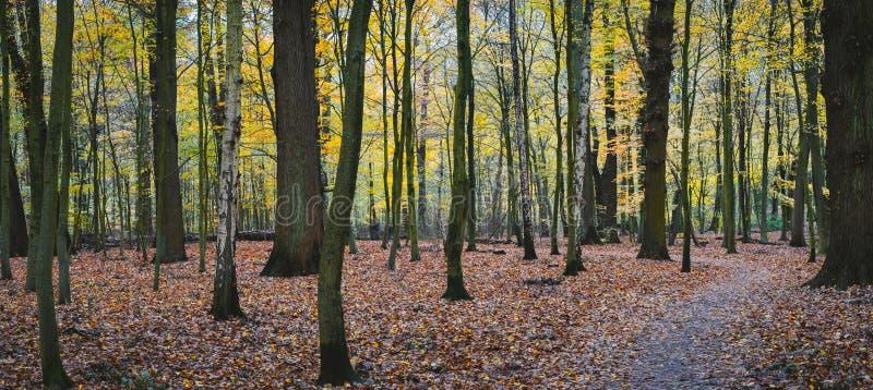 Panorama di una foresta di giallo di autunno con il percorso della passeggiata fra gli alberi fotografie stock