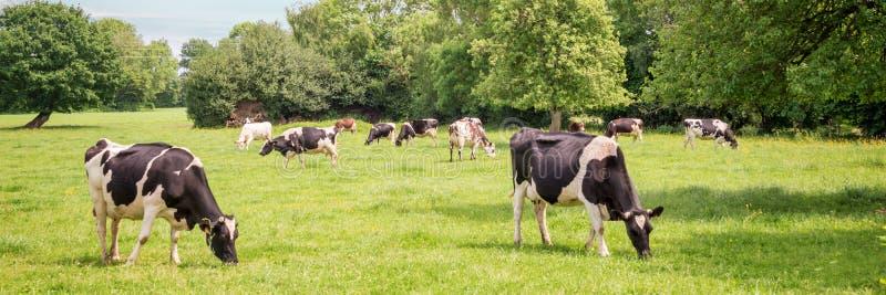 Panorama di vacche bianche e nere che pascolano su prati verdi in Normandia, Francia Paesaggio estivo delle campagne fotografia stock libera da diritti