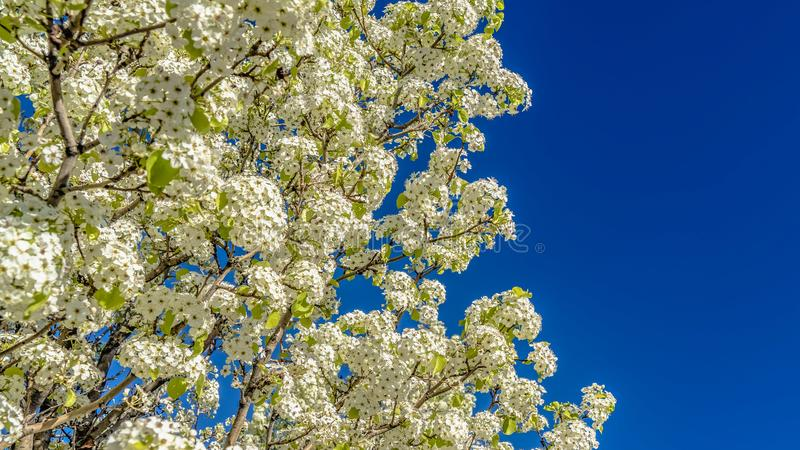 Panorama Dichte omhooggaand van een witte bloeiende boom tegen een duidelijke blauwe hemelachtergrond stock foto's
