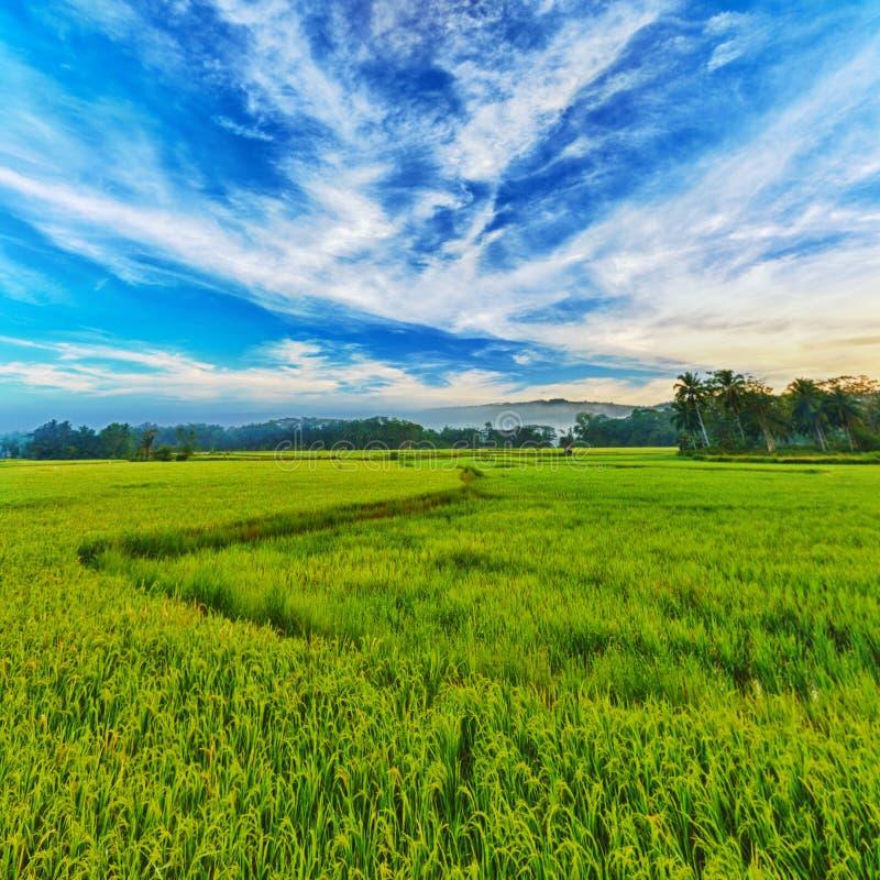 Panorama do arroz 'paddy' imagens de stock