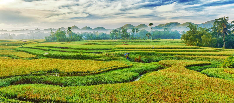 Panorama do arroz 'paddy' fotografia de stock royalty free