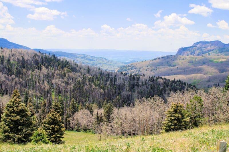 Panorama do besouro Devestation do pinho nas montanhas altas de New mexico do norte imagens de stock
