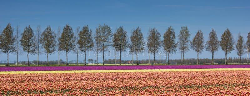 Panorama do campo das tulipas ao longo de um treeline imagem de stock