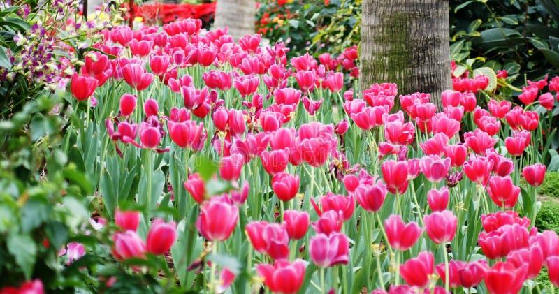 Panorama do campo dos Tulips fotos de stock royalty free