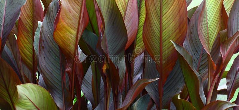 Panorama do canna das folhas foto de stock royalty free