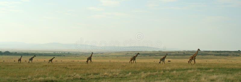 Panorama do Giraffe imagem de stock