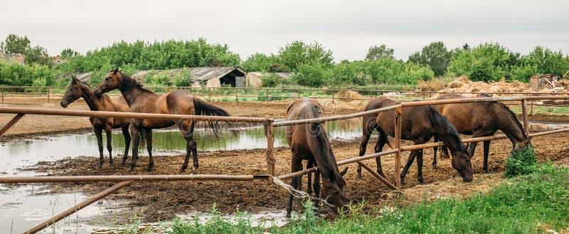 Panorama do grupo de cavalos novos bonitos na cerca no pasto na exploração agrícola ou rancho animal, rebanhos animais rurais ou  fotografia de stock royalty free