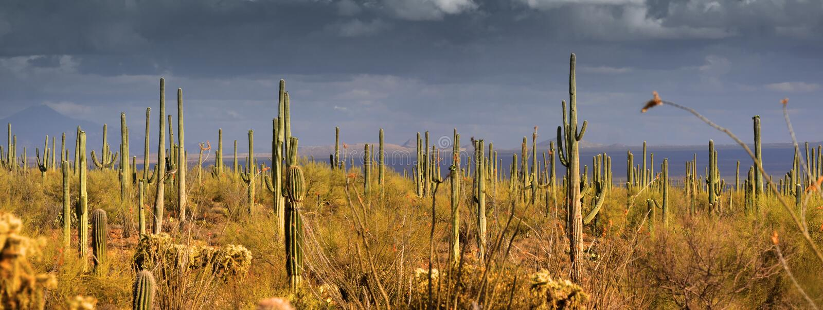 Panorama do Saguaro foto de stock
