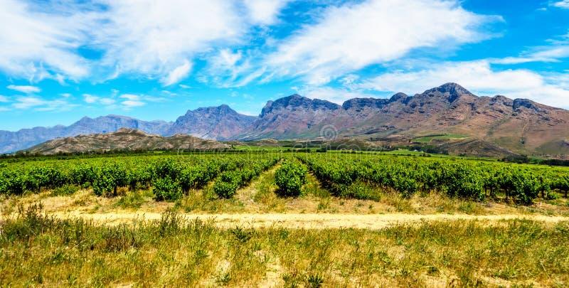 Panorama dos vinhedos e de montanhas circunvizinhas na mola na região do vinho de Boland do cabo ocidental fotografia de stock royalty free