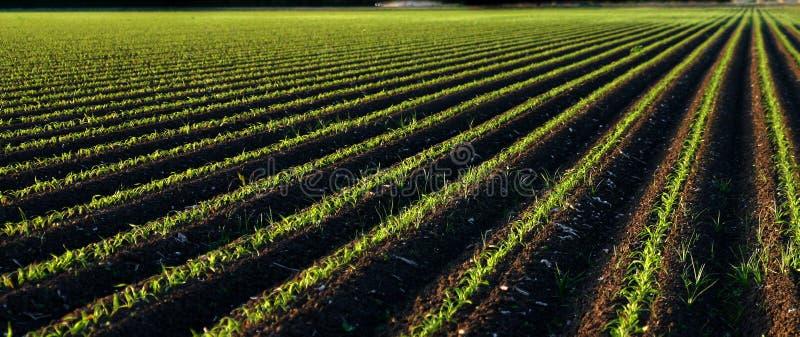 panorama dziecko kukurydzy zdjęcie royalty free