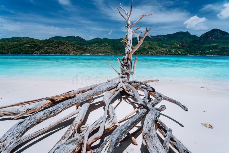 Panorama egzotyczna tropikalna wyspa z jasną turkusową laguną i suchy drzewo na białym piasku wyrzucać na brzeg zdjęcia stock