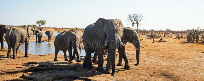 Panorama einer Herde der Elefanten, die nah an dem Lager waterhole in Nationalpark Hwange, Simbabwe trinken stockbild