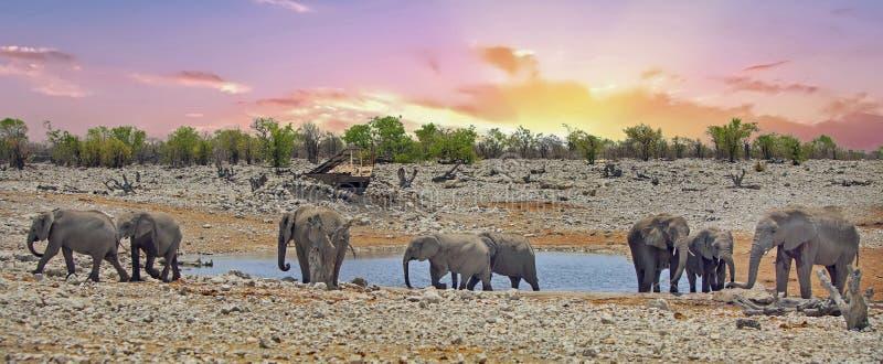 Panorama einer Herde der Elefanten an einem waterhole bei Sonnenuntergang lizenzfreies stockbild