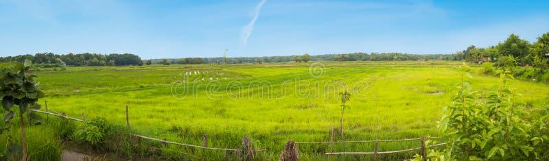 Panorama eines Reisfeldes in Thailand lizenzfreie stockbilder