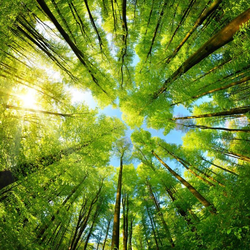 Panorama esférico en un bosque, vista ascendente magnífica a las copas imagenes de archivo