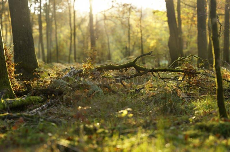 Panorama för selektiv fokus av den solbelysta blandade skogsmarken arkivbild