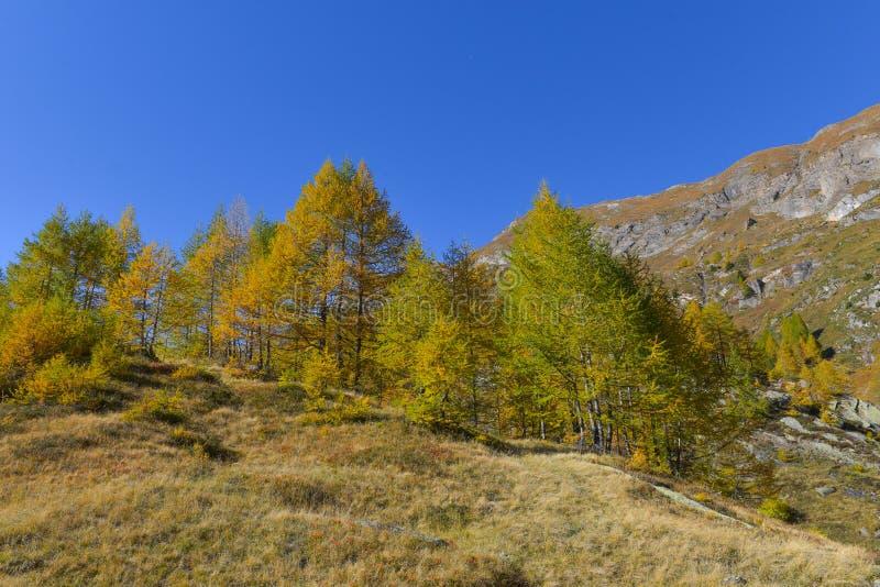 Panorama fabuloso com os pinhos verdes e amarelos e larchepanorama com a rocha na paisagem mountainsbeautiful alta da montanha al fotografia de stock royalty free