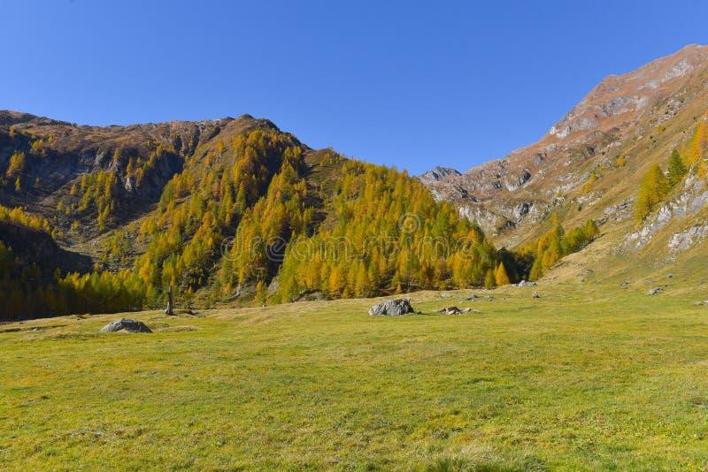 panorama fabuloso con los pinos verdes y amarillos y los alerces fotos de archivo libres de regalías