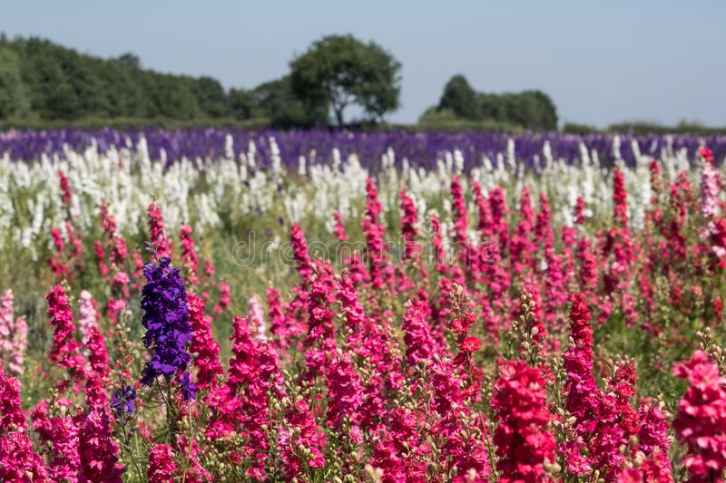 Rows of colourful delphinium flowers in Wick, Pershore, Worcestershire, UK. The petals are used to make wedding confetti. Panorama of field of colourful royalty free stock photography