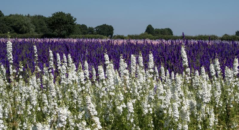 Rows of colourful delphinium flowers in Wick, Pershore, Worcestershire, UK. The petals are used to make wedding confetti. Panorama of field of colourful royalty free stock photo